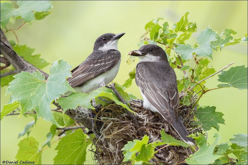 tn_Eastern Kingbird_0172-1.jpg